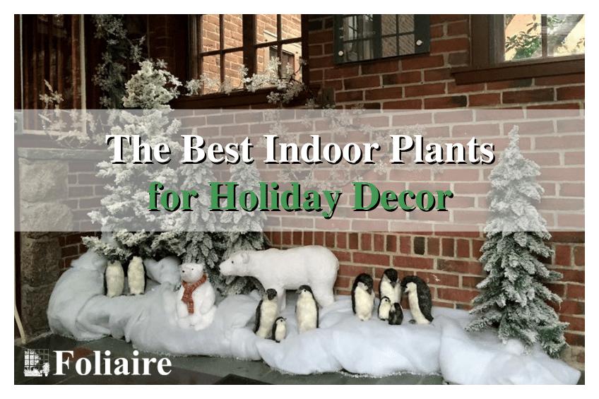 Foliaire Inc. - best indoor plants for holiday decor, holiday decorating, holiday landscaping, holiday plants, indoor winter plants